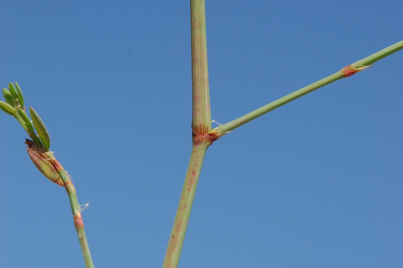 Polygonum aviculare subsp. aviculare 16
