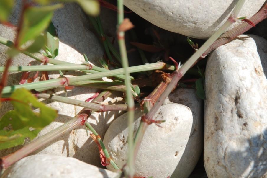 Polygonum aviculare subsp. aviculare 17