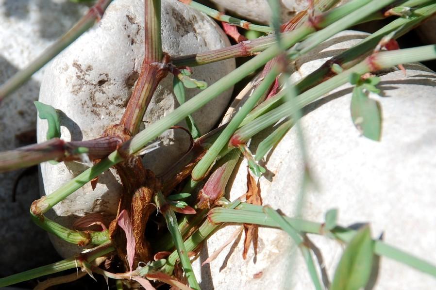 Polygonum aviculare subsp. aviculare 18