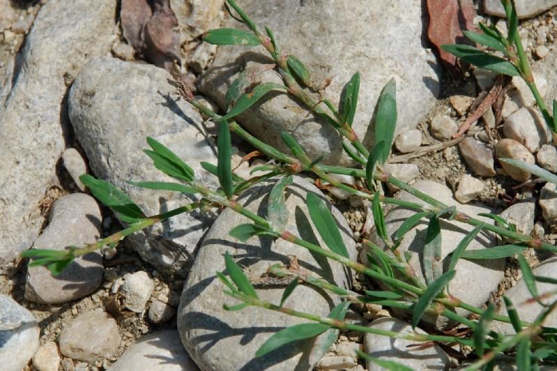 Polygonum aviculare subsp. aviculare 21