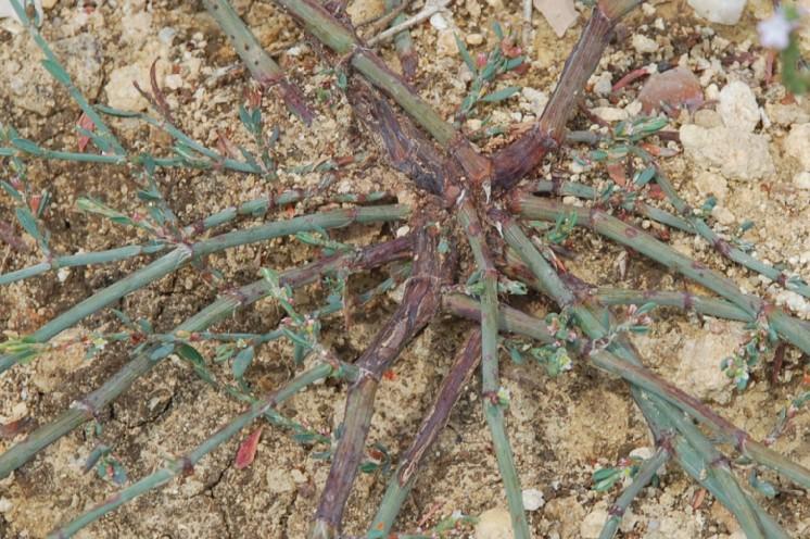 Polygonum aviculare subsp. aviculare 36