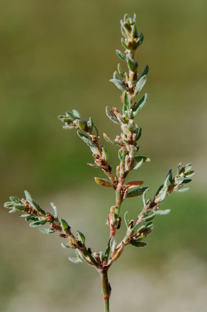 Polygonum aviculare subsp. aviculare 5