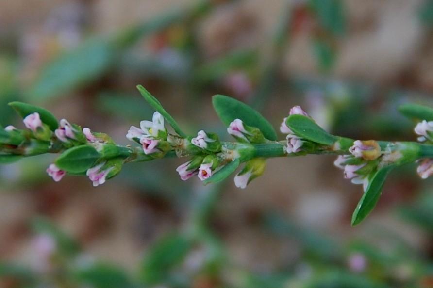 Polygonum aviculare subsp. aviculare 7