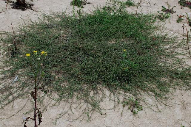 Polygonum aviculare subsp. aviculare 8