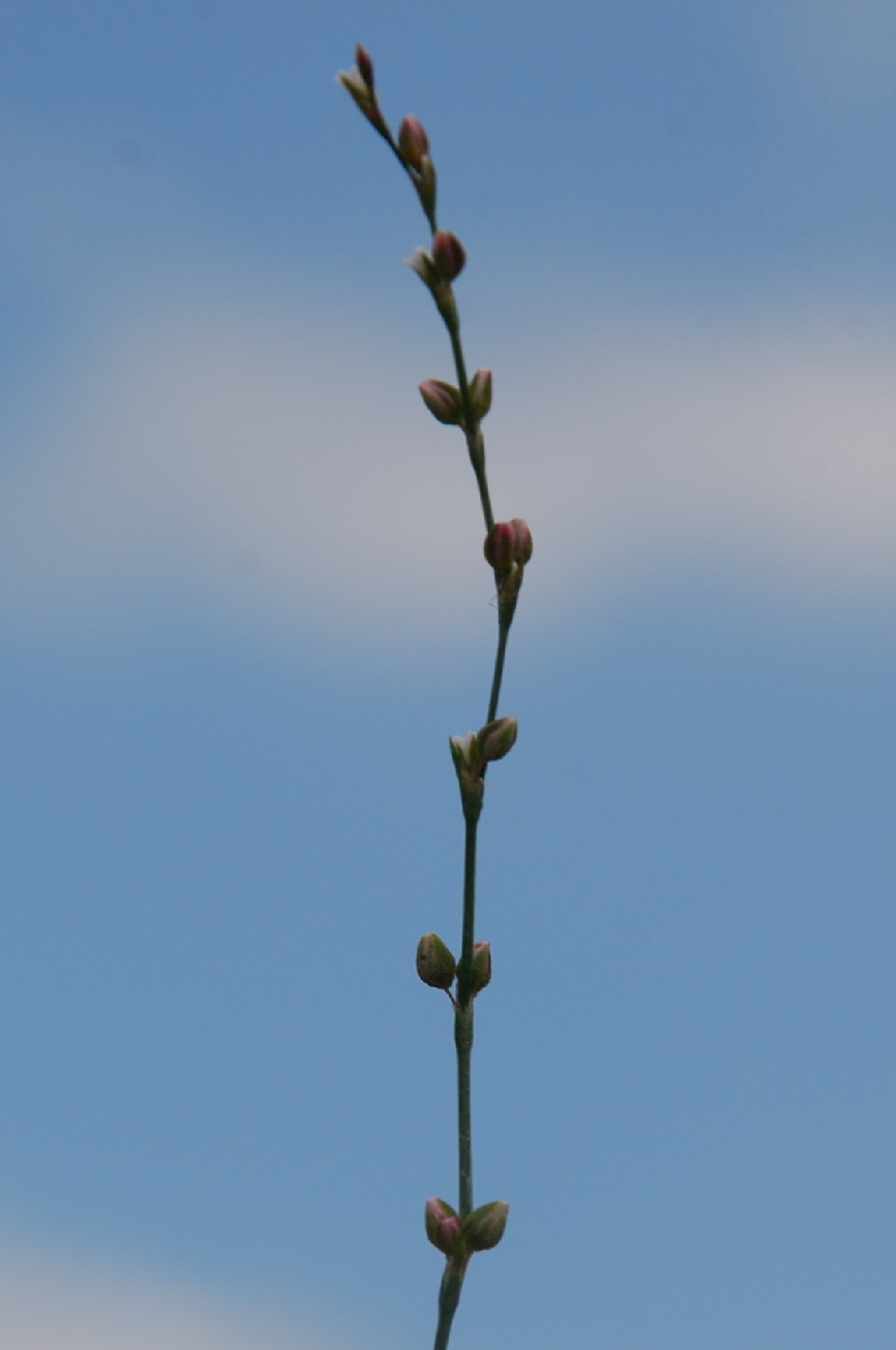 Polygonum bellardii 5