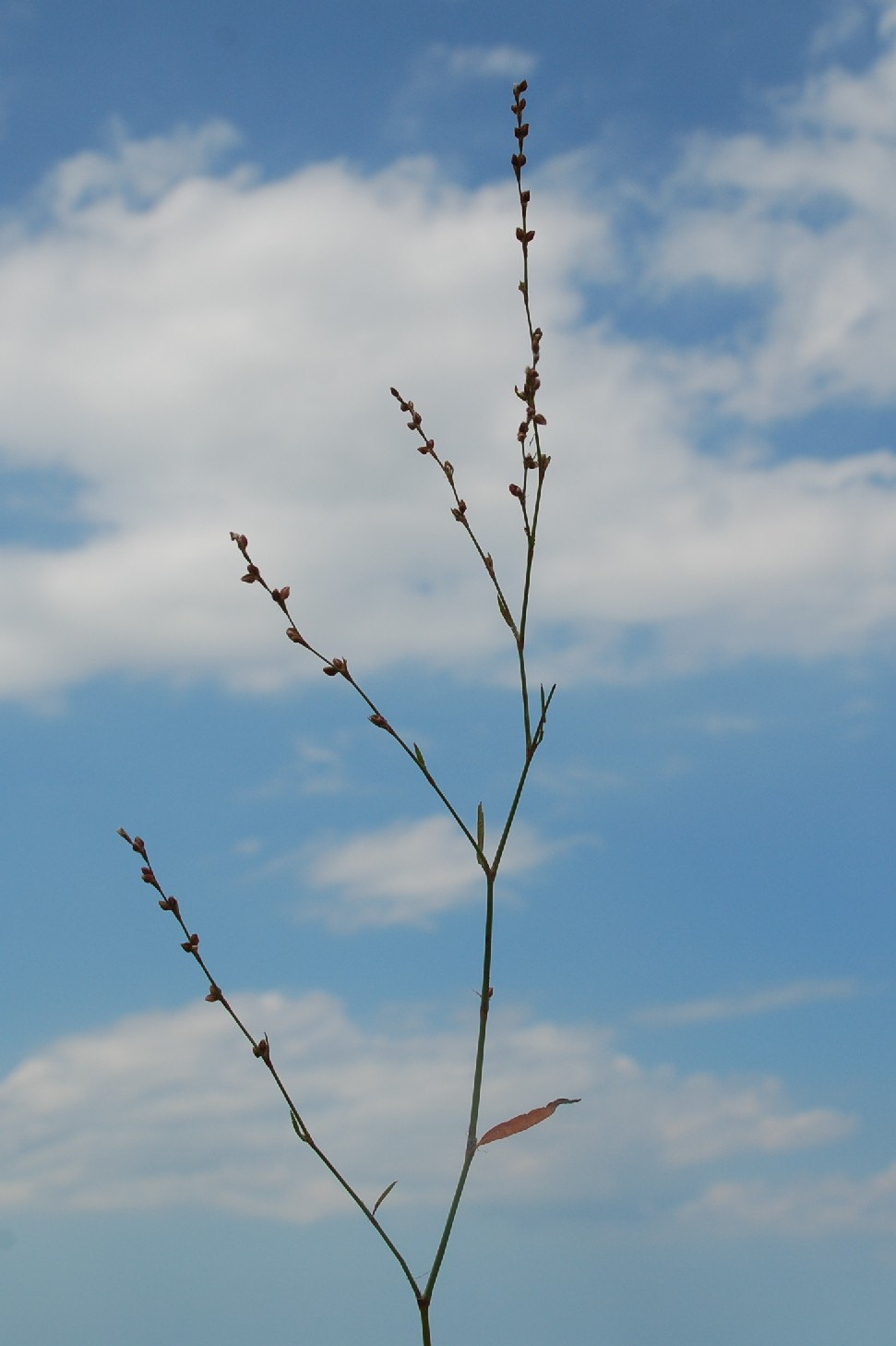 Polygonum bellardii 9