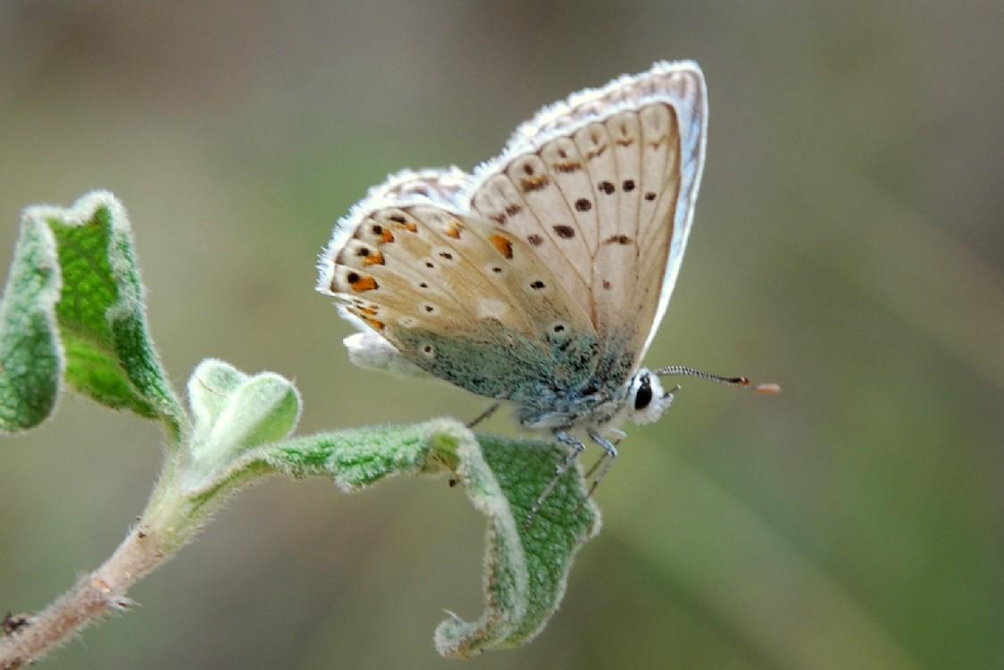 Polyommatus coridon - Lycaenidae
