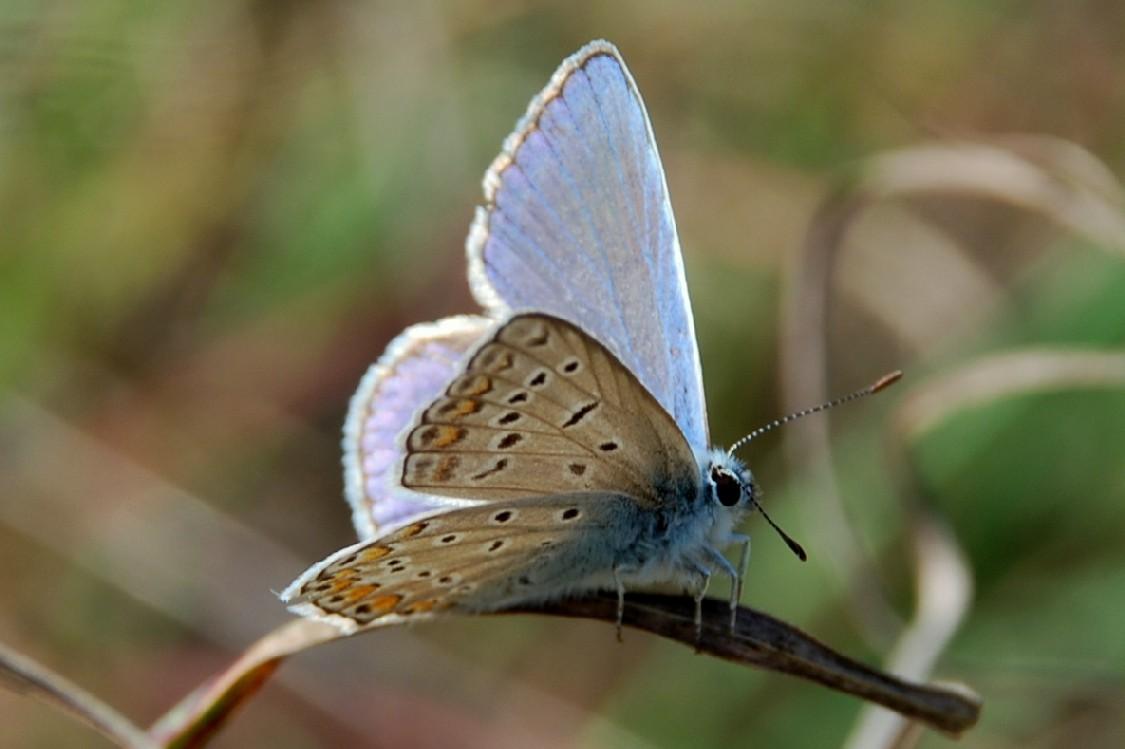 Polyommatus icarus  - Lycaeidae