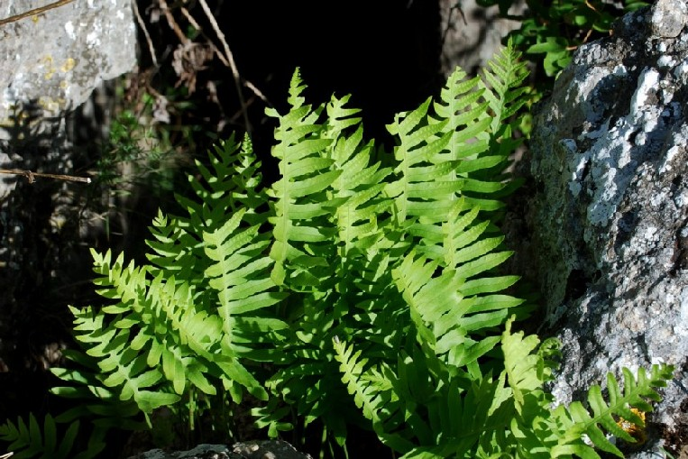 Polypodium vulgare