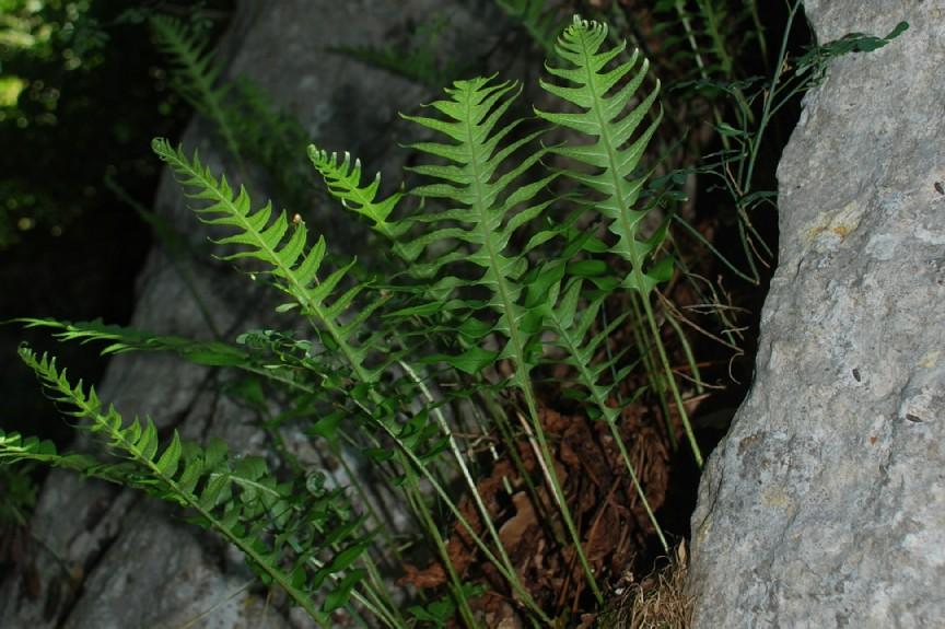 Polypodium vulgare 10