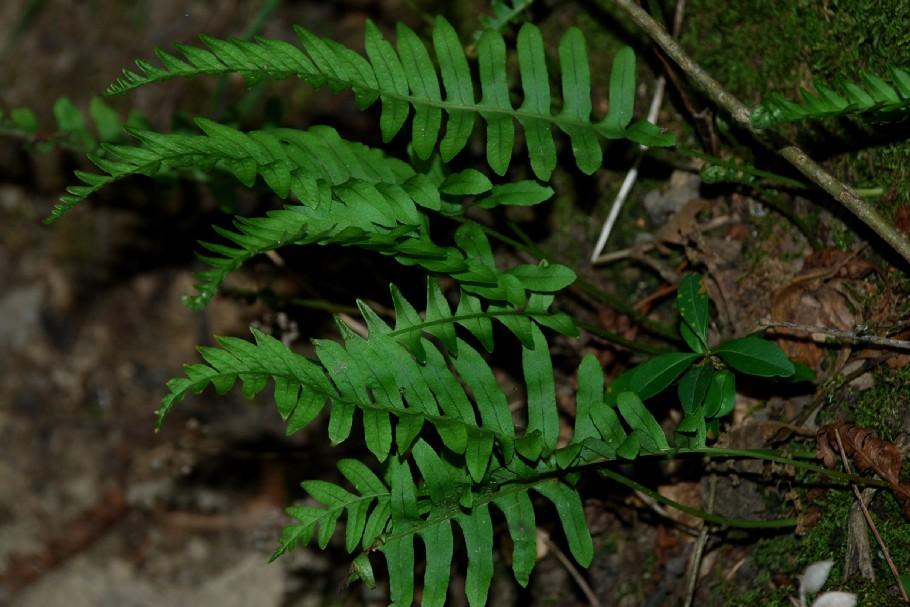 Polypodium vulgare 12