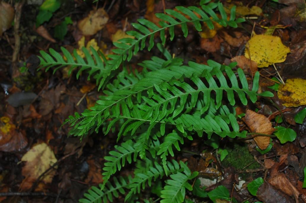 Polypodium vulgare 13