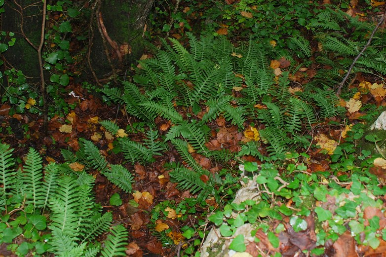Polypodium vulgare 15