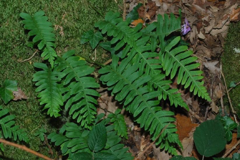 Polypodium vulgare 16