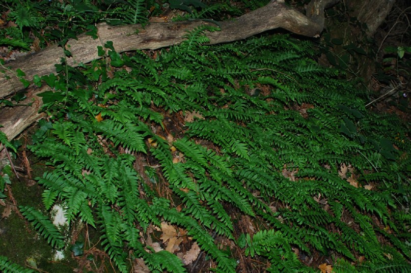 Polypodium vulgare 18