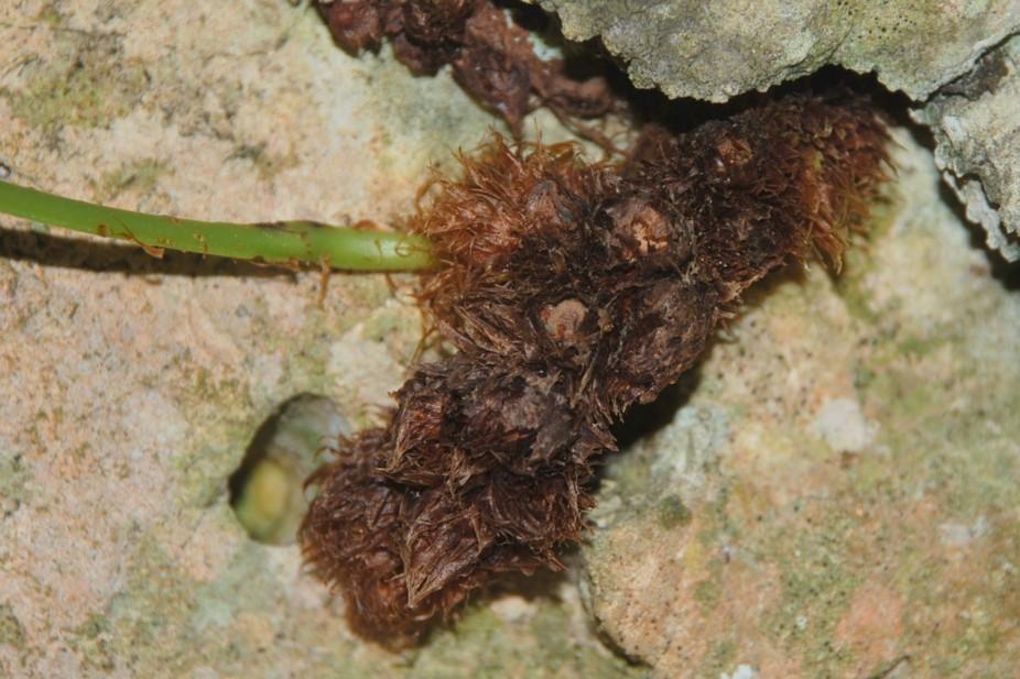 Polypodium vulgare 22