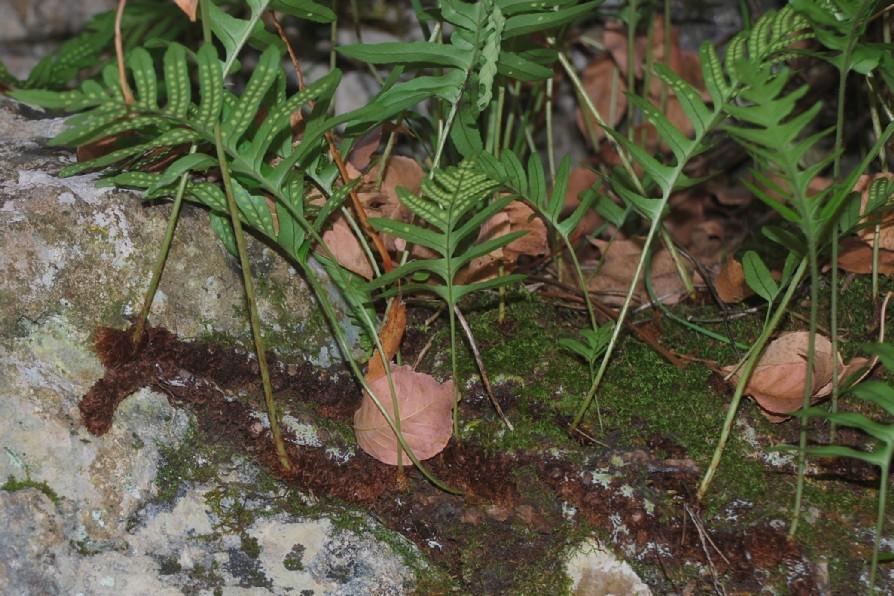 Polypodium vulgare 24
