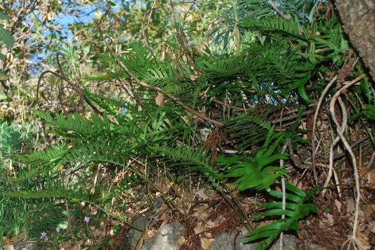 Polypodium vulgare 25