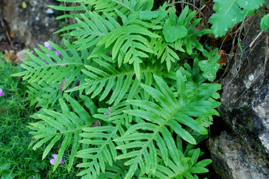 Polypodium vulgare 28