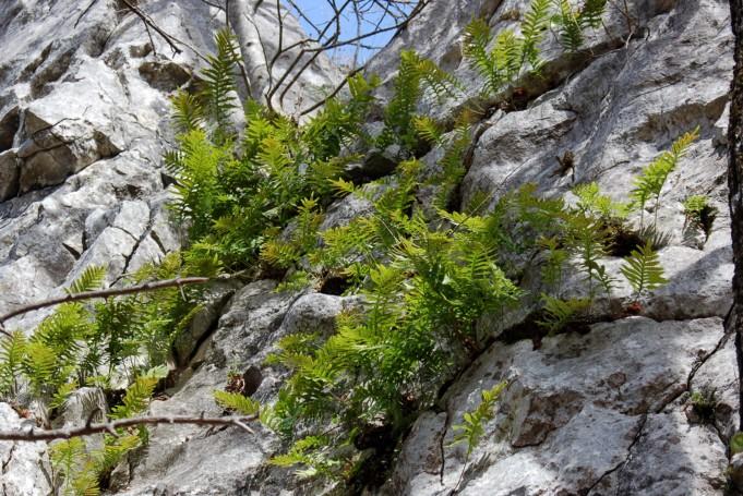 Polypodium vulgare 4