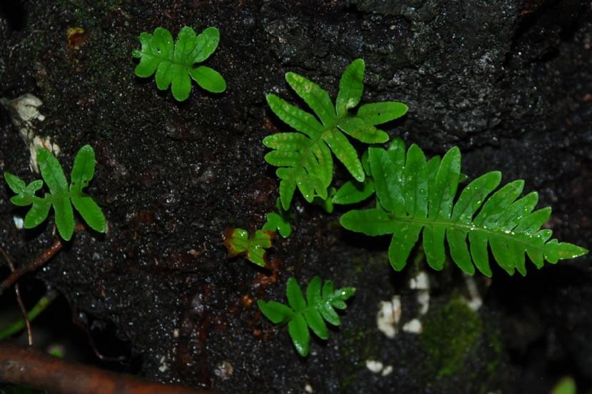 Polypodium vulgare 5