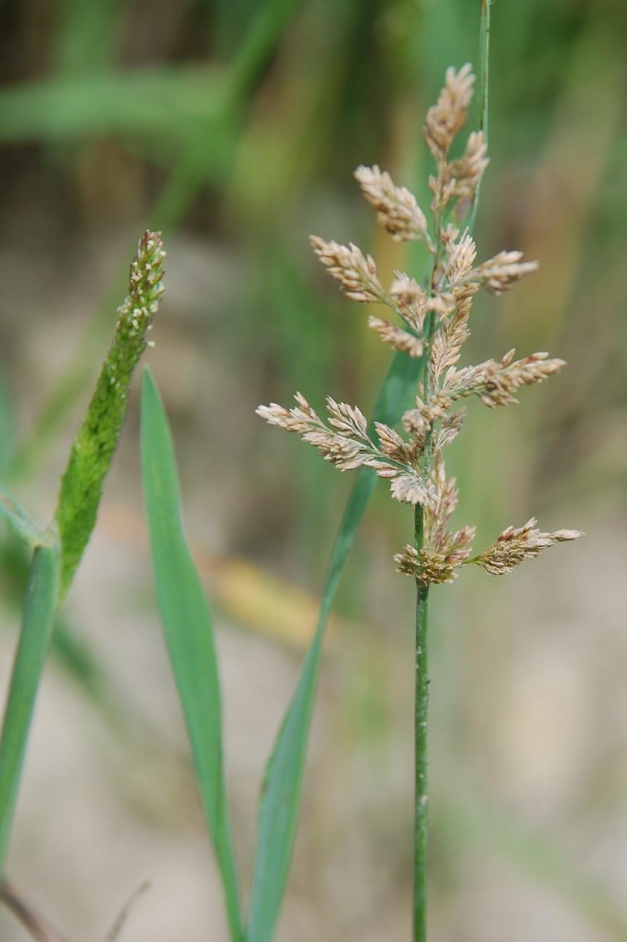 Polypogon viridis 11