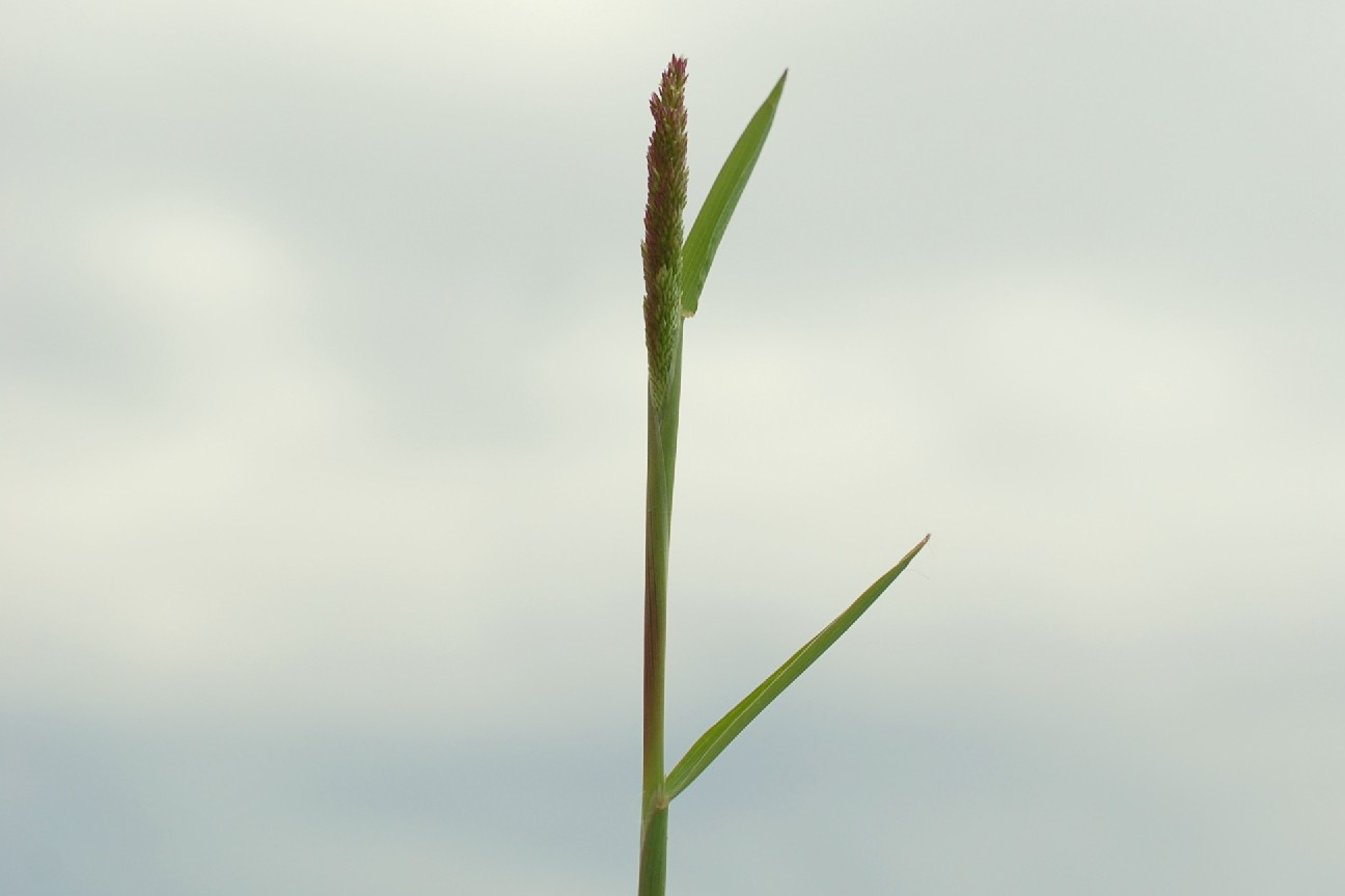 Polypogon viridis 23