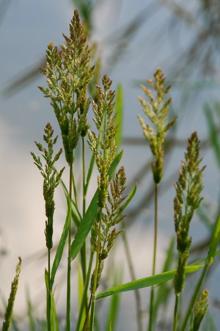 Polypogon viridis 8