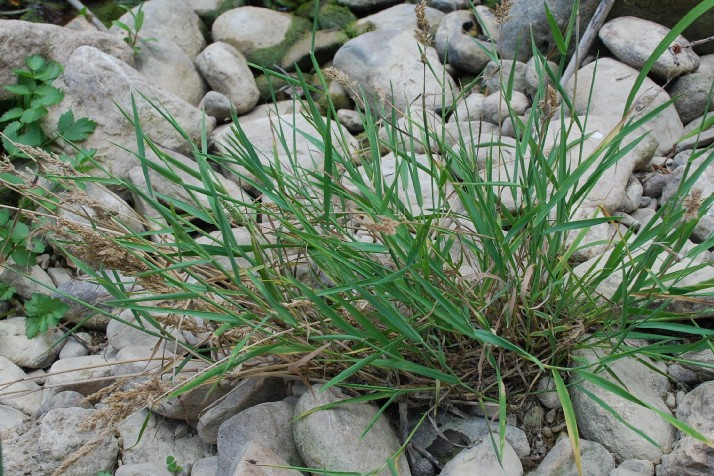 Polypogon viridis 9