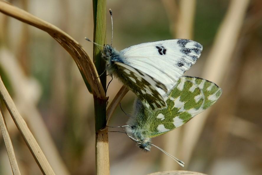 Pontia edusa - Pieridae