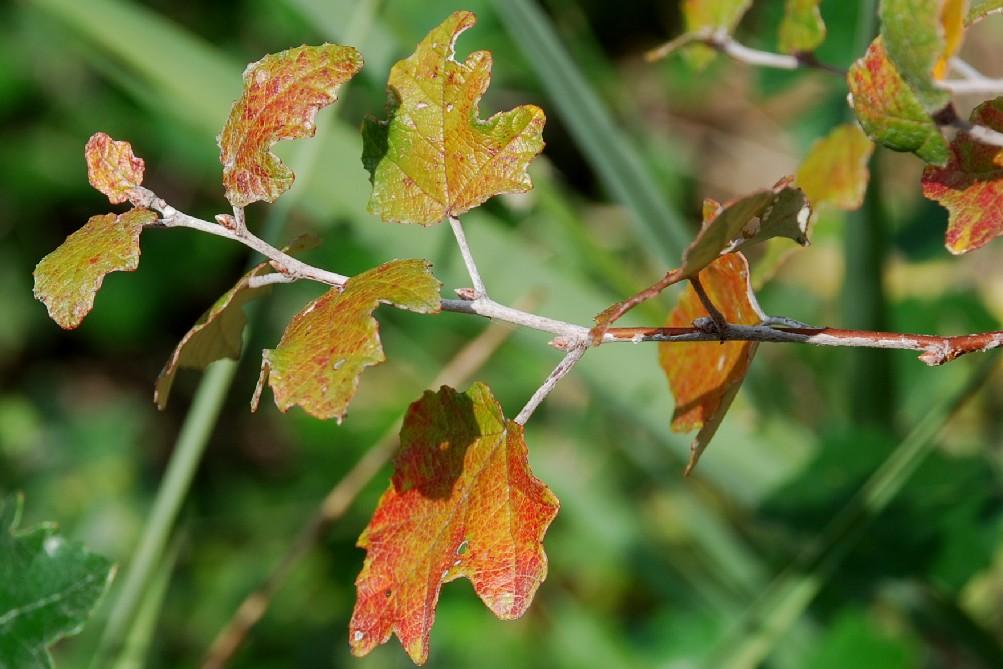 Populus alba 2