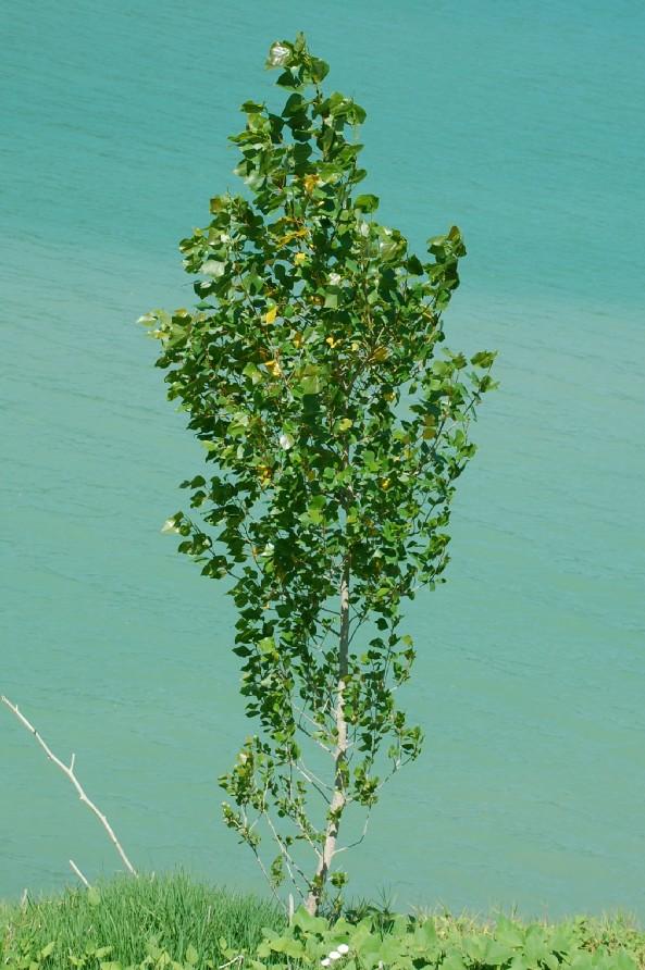 Populus nigra 15