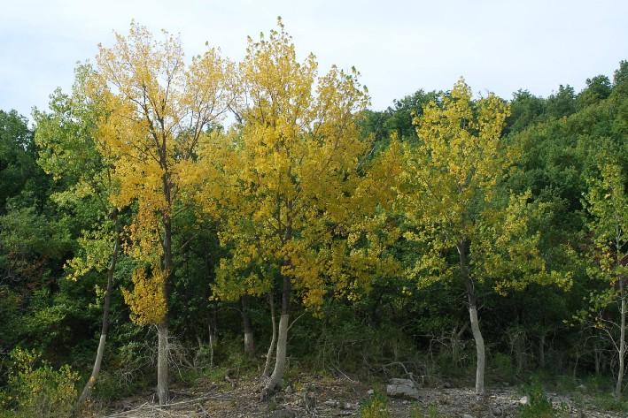 Populus nigra 17