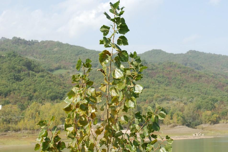 Populus nigra 19