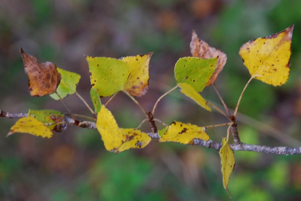 Populus nigra 4