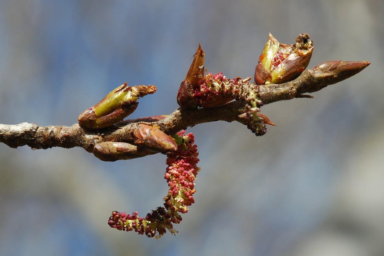 Populus nigra 5