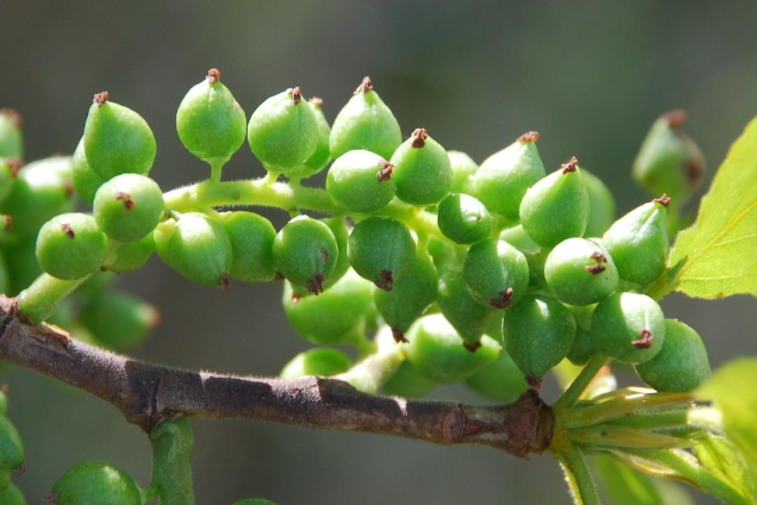 Populus nigra 8