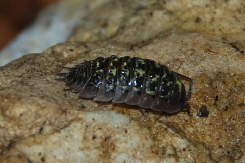 Porcellio sp. - Porcellionidae