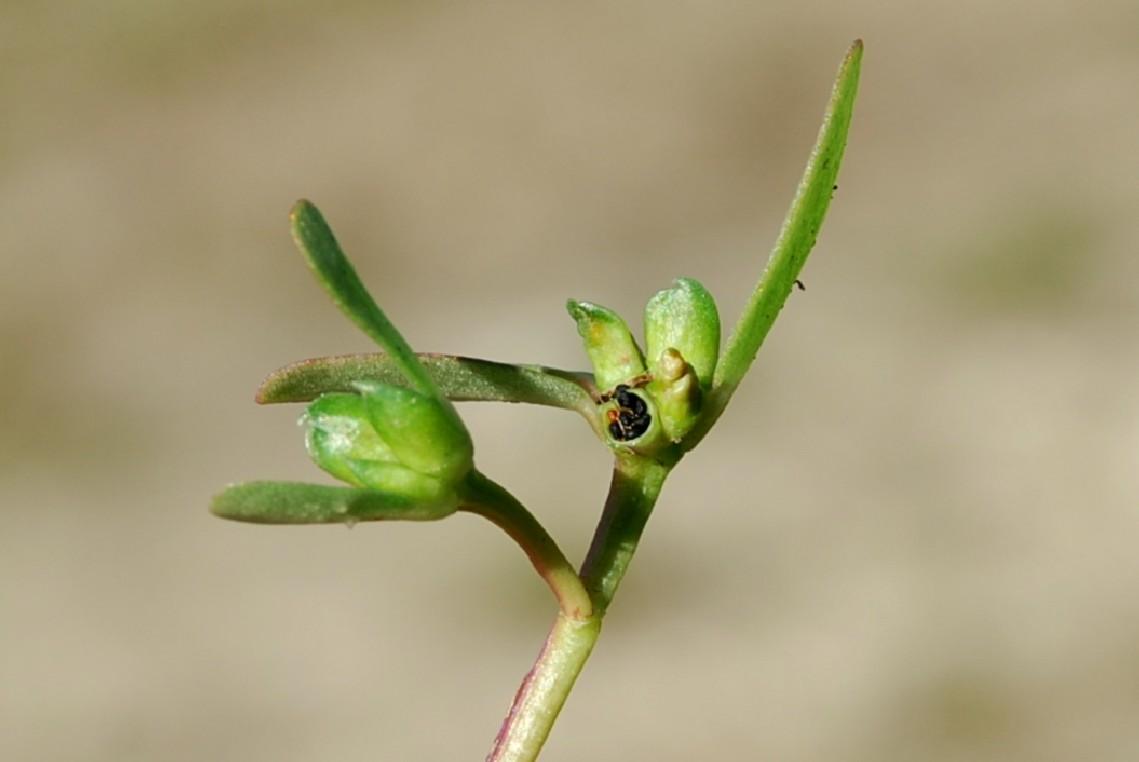 Portulaca oleracea subsp. oleracea 2