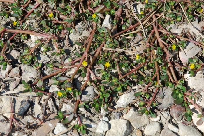 Portulaca oleracea subsp. oleracea 23