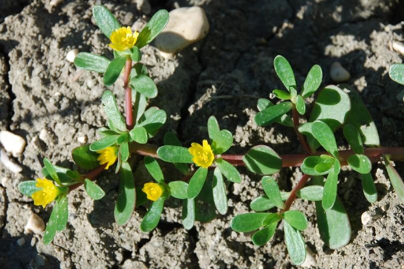 Portulaca oleracea subsp. oleracea 5