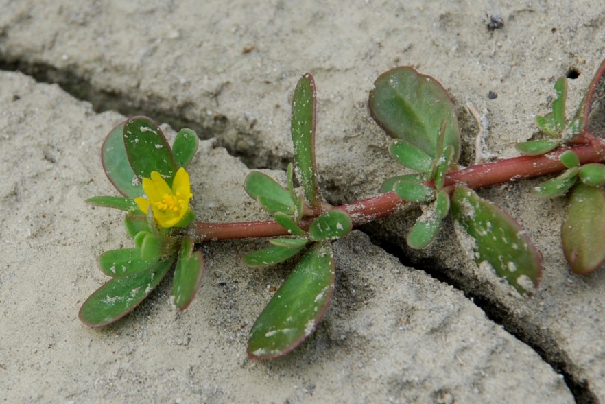 Portulaca oleracea subsp. oleracea 6