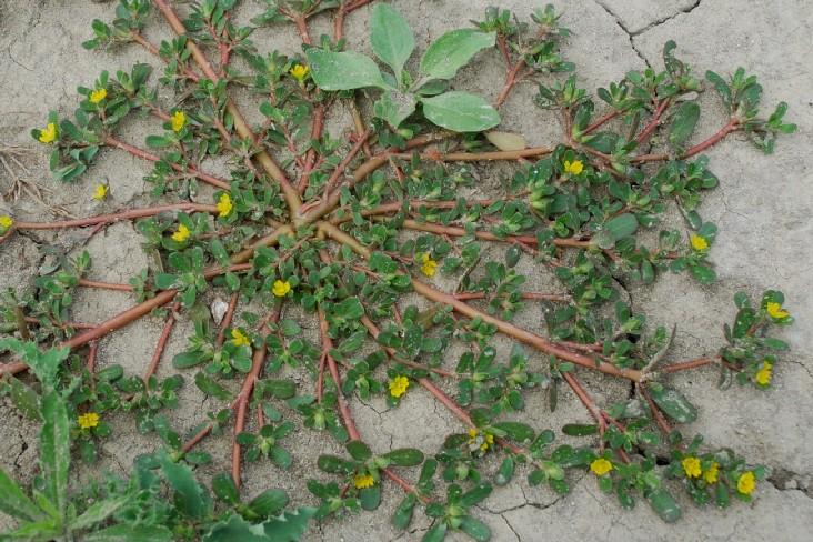 Portulaca oleracea subsp. oleracea 8