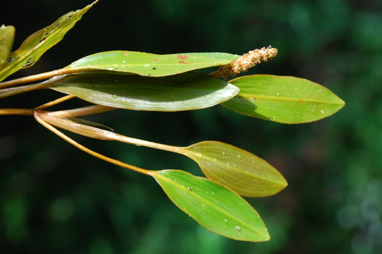 Potamogeton nodosus 2