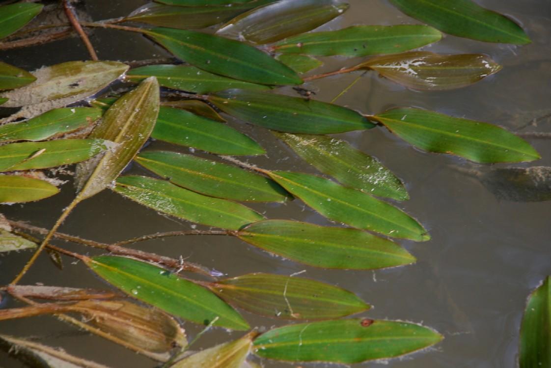 Potamogeton nodosus 6