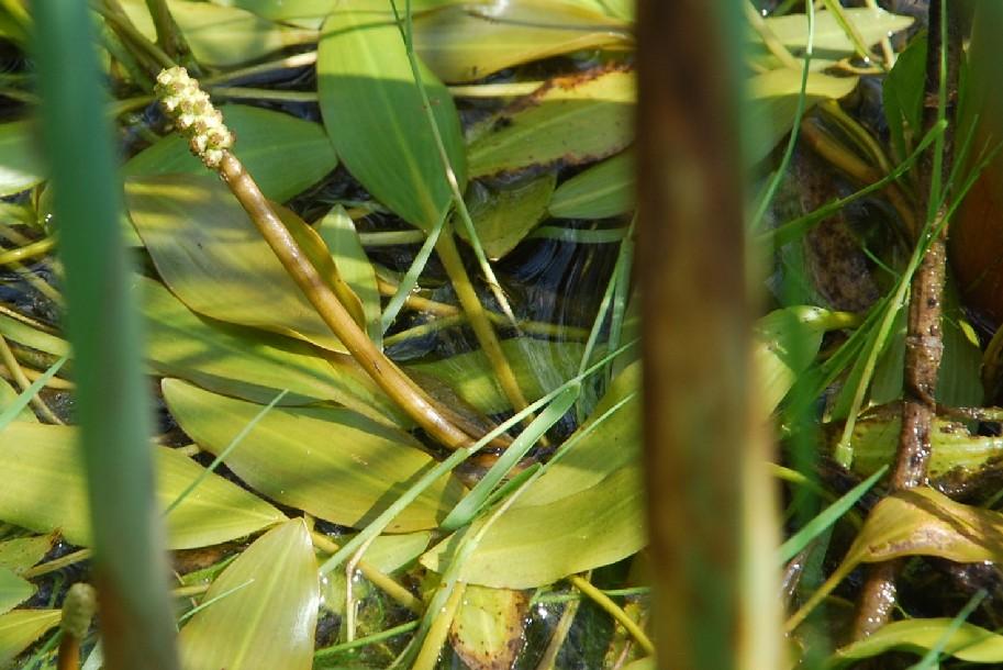 Potamogeton nodosus 8