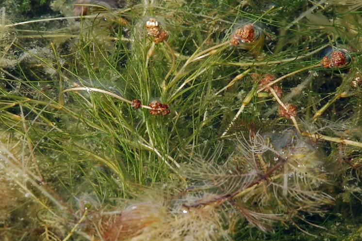Potamogeton pectinatus