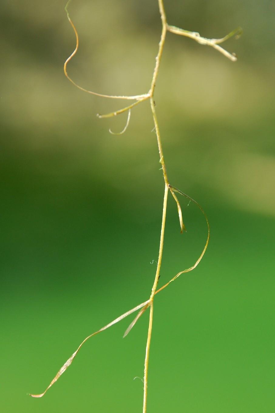 Potamogeton pusillus 4
