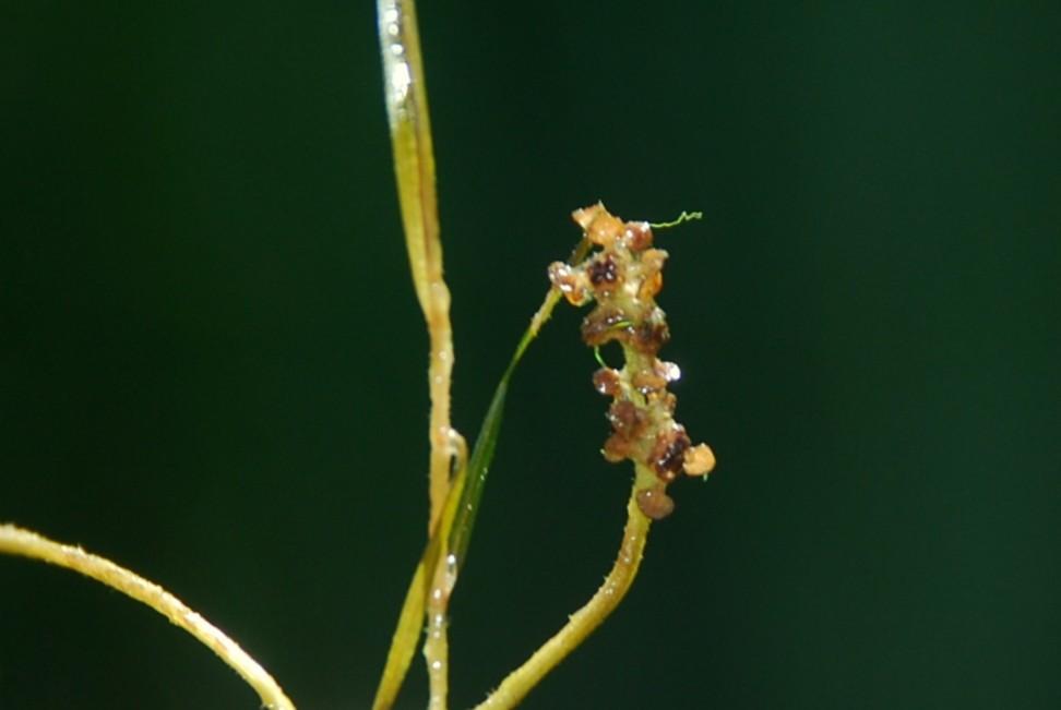 Potamogeton pusillus 9
