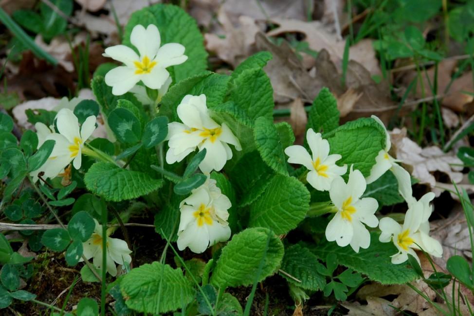 Primula acaulis subsp. acaulis 2